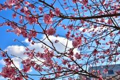 Sakura blomning i Japan royaltyfri bild