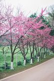 Sakura blomning i vinter Royaltyfria Bilder