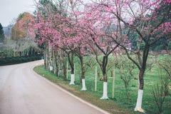 Sakura blomning i vinter Royaltyfria Foton