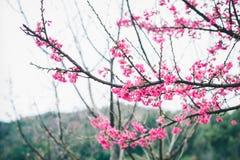 Sakura blomning i vinter Arkivbilder