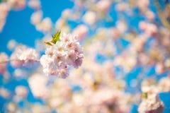 Sakura blomning och blå färg av himmel Fotografering för Bildbyråer