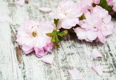 Sakura blomning på en gammal träbakgrund Royaltyfri Bild