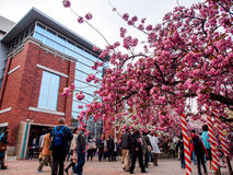 Sakura blomning på Osaka, Japan 3 Royaltyfria Foton