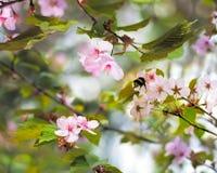 Sakura blomningar Fotografering för Bildbyråer