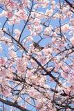 Sakura blomningar Arkivbild