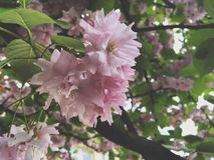 Sakura blomningar Royaltyfria Foton