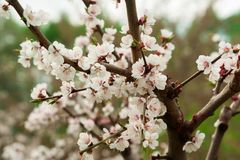 Sakura blomstrar det körsbärsröda trädet i skog Royaltyfria Bilder