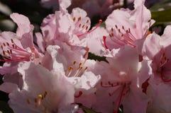 sakura blomstrar i vår - Arkivfoton