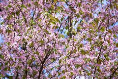 Sakura in bloom Royalty Free Stock Images