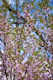 Sakura in bloom Royalty Free Stock Photo