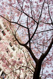 Sakura bloom. S under a building,in spring Royalty Free Stock Photo