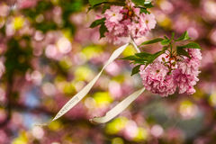 Sakura bloom. Beautiful close up flowers at daylight Stock Photography