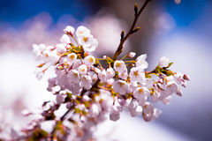 Sakura bloom. Beautiful close up flowers at daylight Royalty Free Stock Photo