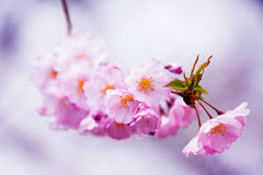 Sakura bloom. Beautiful close up flowers at daylight Royalty Free Stock Photos