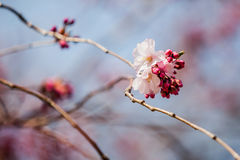 Sakura bloom. Beautiful close up flowers at daylight Royalty Free Stock Photography