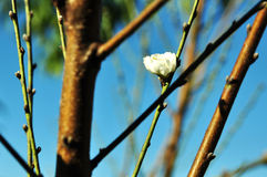 Sakura bloom with blue background Royalty Free Stock Photography