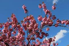 Sakura in bloom Royalty Free Stock Photo