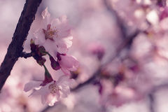 Sakura in bloom close up photo, effect toned photo Royalty Free Stock Photography