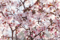 Sakura in bloom close up photo Stock Images