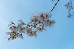 Sakura bloom. Japanese cherry Prunus yedoensis blossom Royalty Free Stock Photos