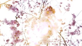 Sakura in bloom in Japanese garden sunlight flare. Cinematic yellow light flare over sakura blossom tree in bloom on a spring day - view from below on Japanese stock footage