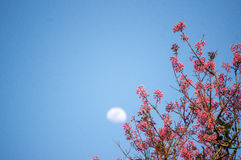 Sakura bloom and the new moon . Cherry Blossom In Springtime Stock Image