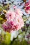 Sakura bloom Stock Photography
