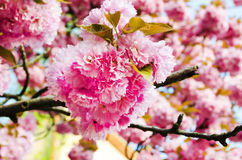 Sakura bloom Royalty Free Stock Photos