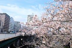 Sakura bloomimg przy Kandagawa lub Kanda rzeką, Tokio zdjęcia royalty free