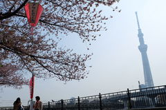 Sakura bloomimg at Sumida River, Tokyo. The Sumidagawa River is a celebrated destination for admiring cherry blossoms since the premodern Edo period. The royalty free stock photography