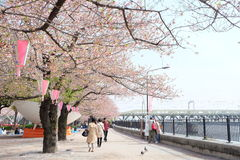 Sakura bloomimg at Sumida River, Tokyo. The Sumidagawa River is a celebrated destination for admiring cherry blossoms since the premodern Edo period. The Royalty Free Stock Images