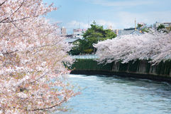 Sakura blooming along the canal in Tokyo Royalty Free Stock Images