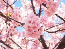 Sakura Blooming beautifully in Izu Kawazu Japan in Spring. Beautiful Pink Cherry Blossom blooming beautifully with lovely weather and blue sky in Izu Kawazu in Stock Image