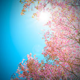 Sakura blooming in the  blue sky Stock Photos