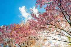 Sakura blooming in the  blue sky Stock Photography