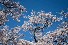 Sakura blooming branch. Against the blue sky sunny spring day royalty free stock photo