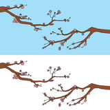Sakura Blooming Branches Royalty Free Stock Image