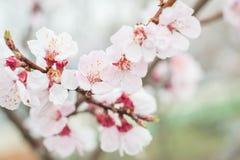 Sakura blooming Royalty Free Stock Photography