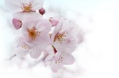 Sakura. The blooming sakura, japanese cherry blossoms in the park Royalty Free Stock Images