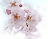 Sakura. The blooming sakura, japanese cherry blossoms in the park Royalty Free Stock Photography