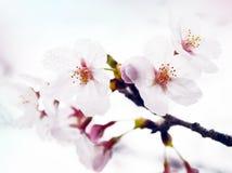 Sakura. The blooming sakura, japanese cherry blossoms in the park Royalty Free Stock Photos