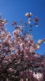 Beautiful pink sakura flowers with blue sky on the background royalty free stock photography