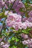 Sakura blooming Royalty Free Stock Photo