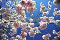 Sakura blooming spring bright and warm day in Stockholm stock images