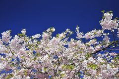 Sakura blooming spring bright and warm day in Stockholm royalty free stock photo