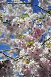 Sakura blooming spring bright and warm day in Stockholm stock photo