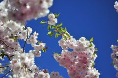 Sakura blooming spring bright and warm day in Stockholm stock image