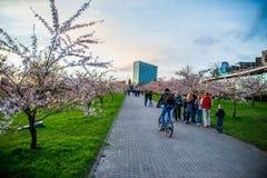 Sakura blooming, Vilnius stock image