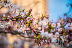 Sakura blooming stock photography