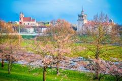 Sakura blooming in Vilnius royalty free stock photo